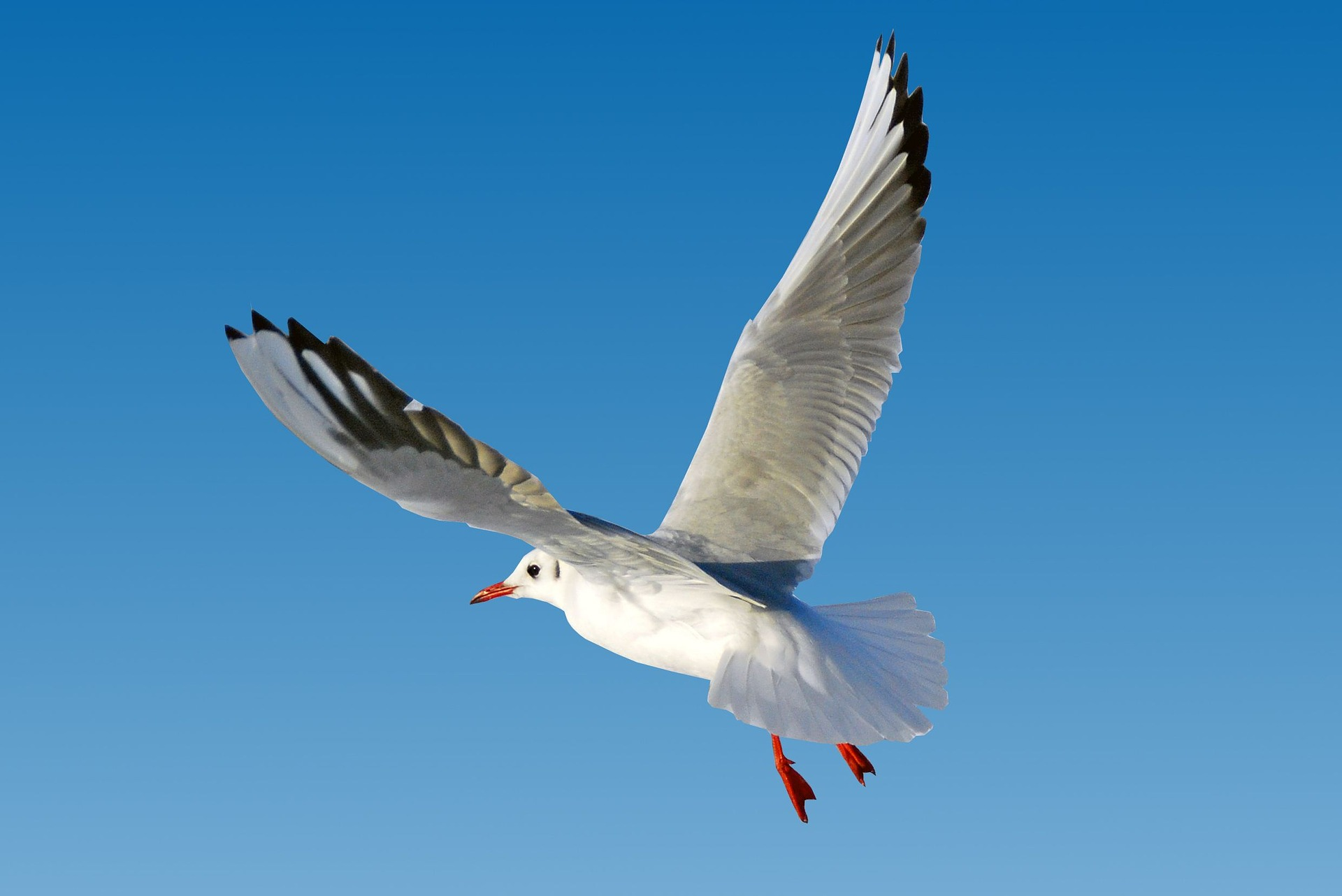 minister there are no plans to kill the 39 friendly 39 seagull bailiwick express. Black Bedroom Furniture Sets. Home Design Ideas