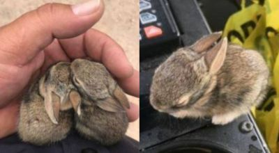 Wild baby rabbits stranded from their mother rescued by New Mexico police