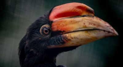 Nest footage shows first rare hornbill chicks to hatch in the UK for 13 years