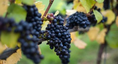 Sour grapes: 'Warmer days could threaten your wine'