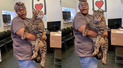 Enormous cat wins viral stardom and breaks shelter's website