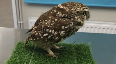 Owl found in ditch was too fat to fly