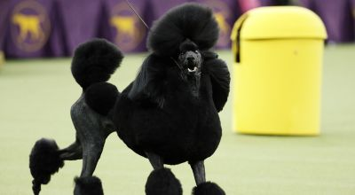 Poodle perfection: Siba wins best in show at Westminster Kennel Club