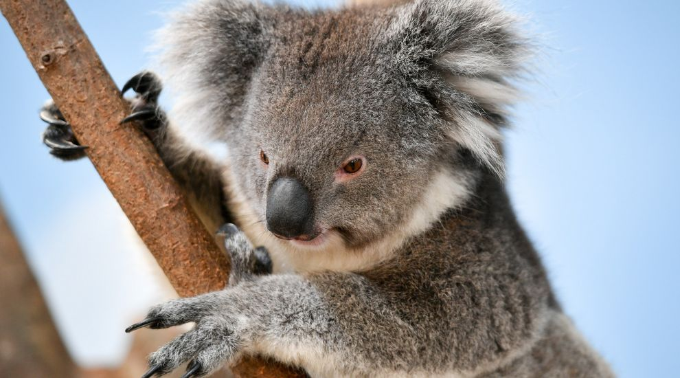 Well-meaning knitters told to stop sending koala mittens to Australia
