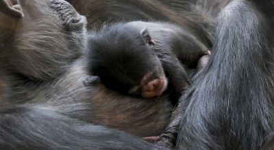 Edinburgh Zoo welcomes birth of baby chimpanzee