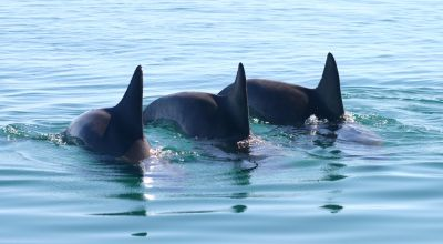 Male dolphins match the tempo of each other's calls when working together
