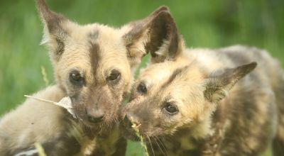 Painted dog siblings play in Yorkshire weeks after their mother's death