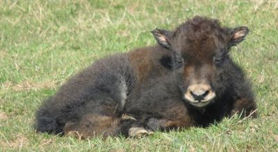 Baby yak to be named after Harry Potter character