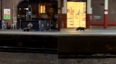 Lost badger spotted on platform at Stoke-on-Trent train station
