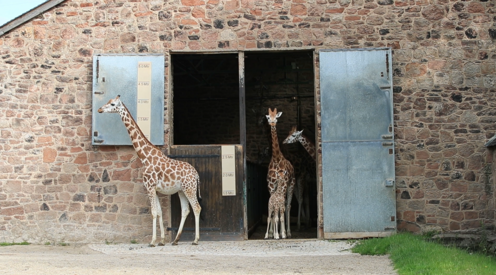 Watch as a baby giraffe at Chester Zoo takes her first steps outside