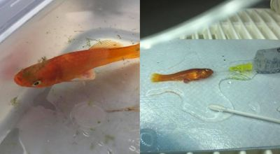 Fish weighing less than a gram makes full recovery after surgery