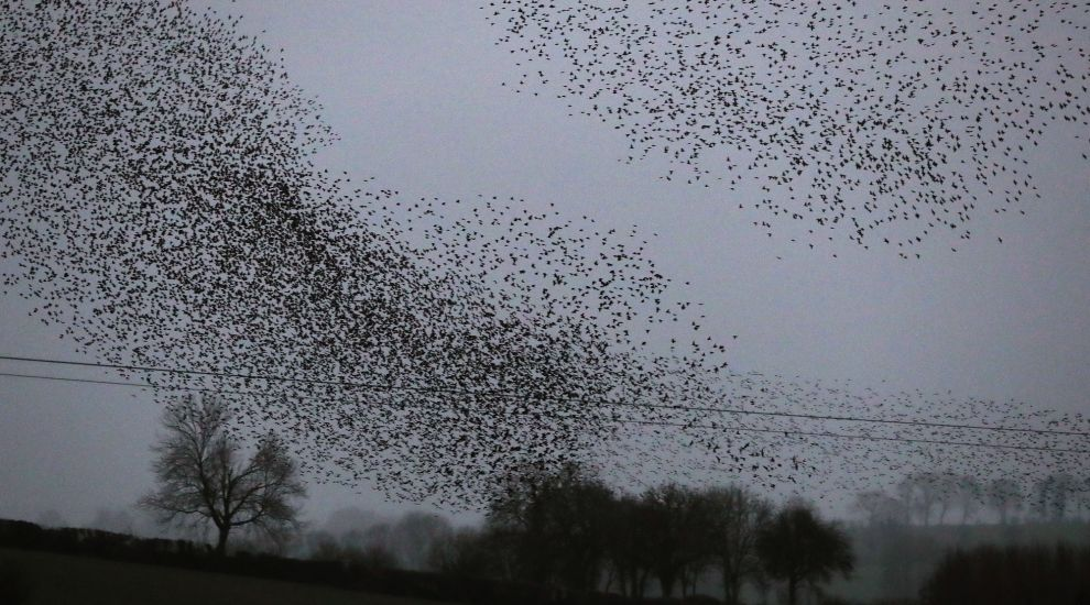 Starlings 'like fireworks' as they produce aerial displays across Ireland