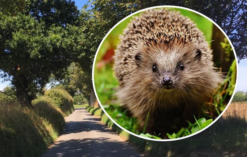 WATCH: Islanders urged to help prevent hedgehog casualties