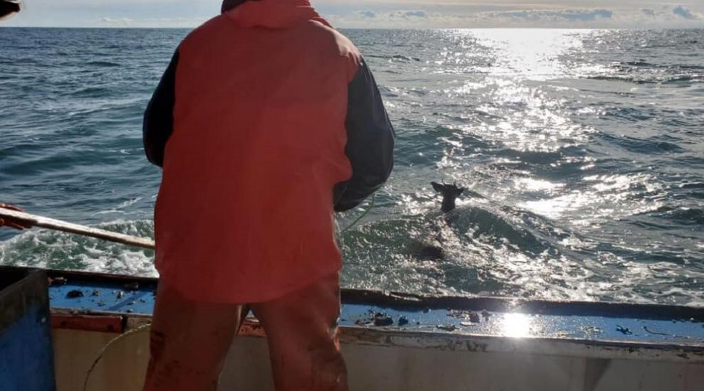 Lobstermen rescue deer 'stranded five miles out to sea'