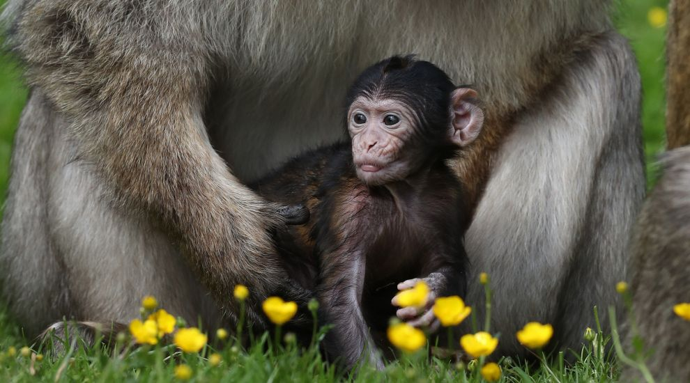 Infant Barbary macaque spotted nestling with father at safari park