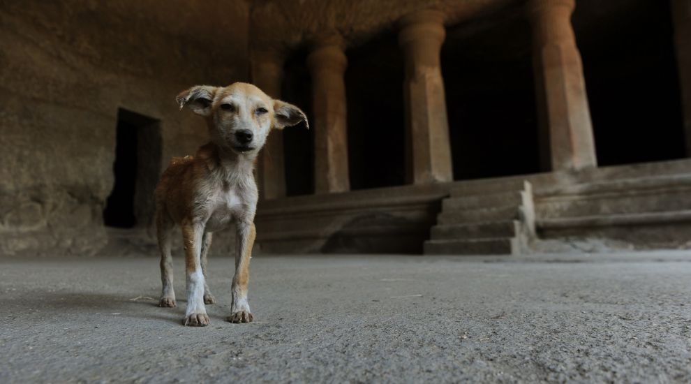 Natural or learned? Scientists test instincts of stray dogs