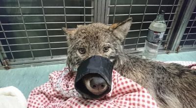 Wolf rescued from freezing river after it was mistaken for dog