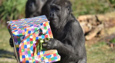 Gorilla born by emergency caesarean celebrates fourth birthday at zoo