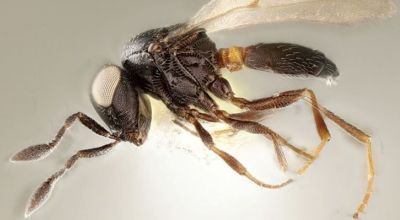 New wasp species named after Idris Elba