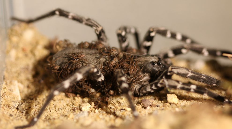 Zoological Society of London reveals breeding success for rare spider species