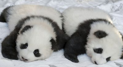 Berlin zoo reveals names and gender of panda twin cubs