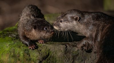 Swimming lesson for zoo's otter pups as they leave den for first time