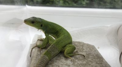 Stowaway lizard travels from Kos to Bridgend in holidaymakers' suitcase