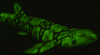 Sharks glow green in the depths of the ocean