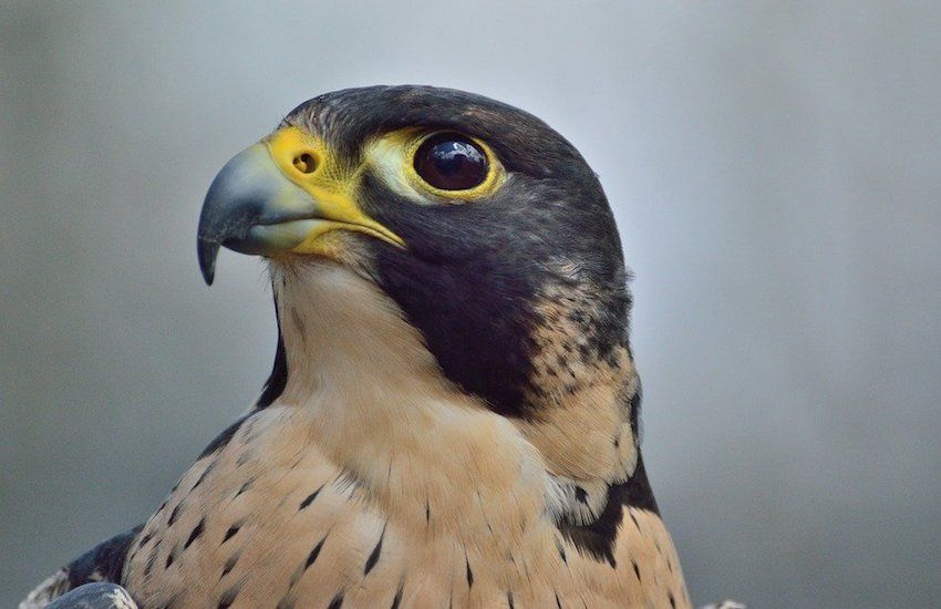 Reward offered for finding falcon killer