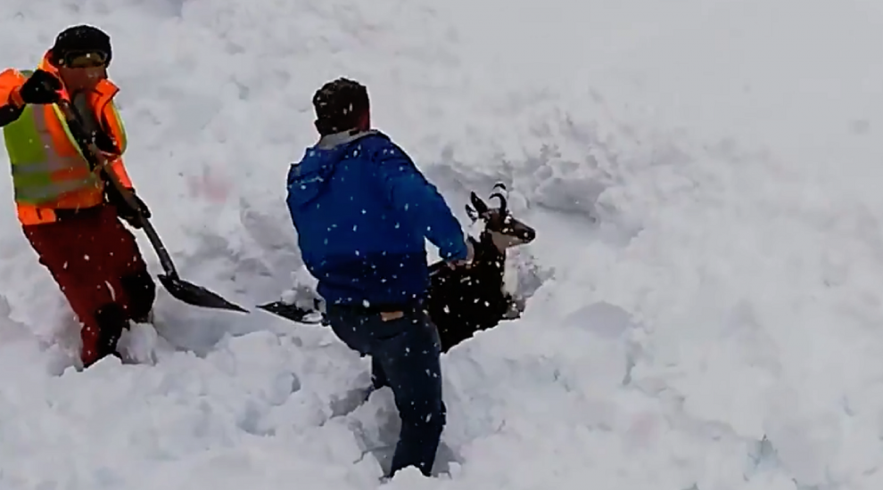 Train workers rescue mountain goat from snow after accidentally burying it