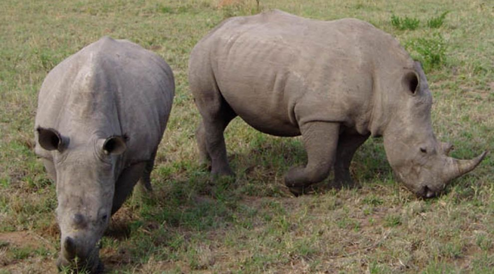 Scientists create embryos of near-extinct northern white rhino