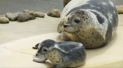Loved-up seals stay in touch over FaceTime