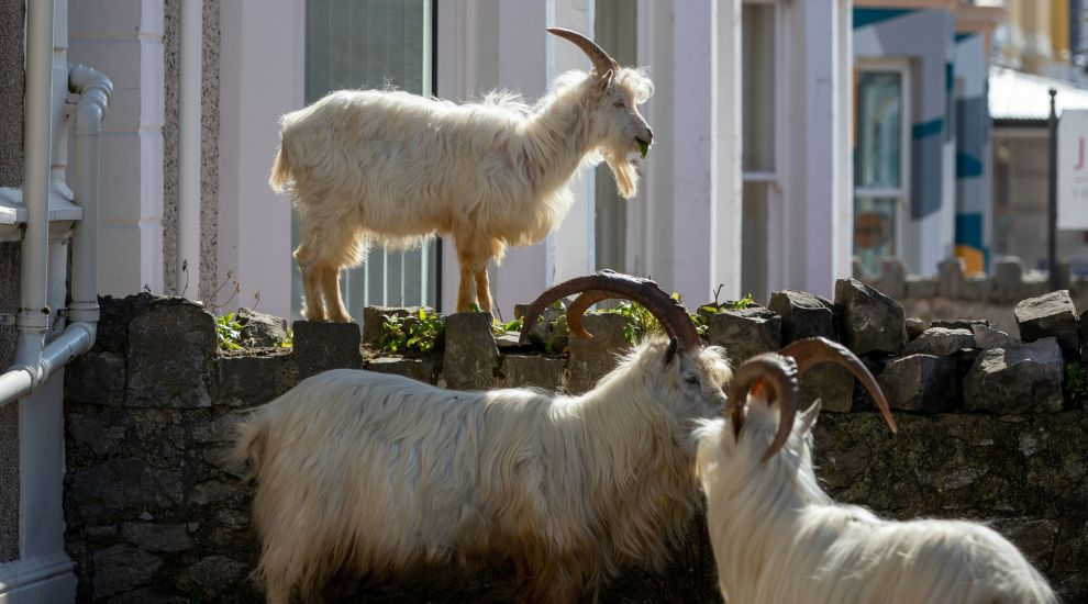 Stay away from mountain goats in seaside town, urge police