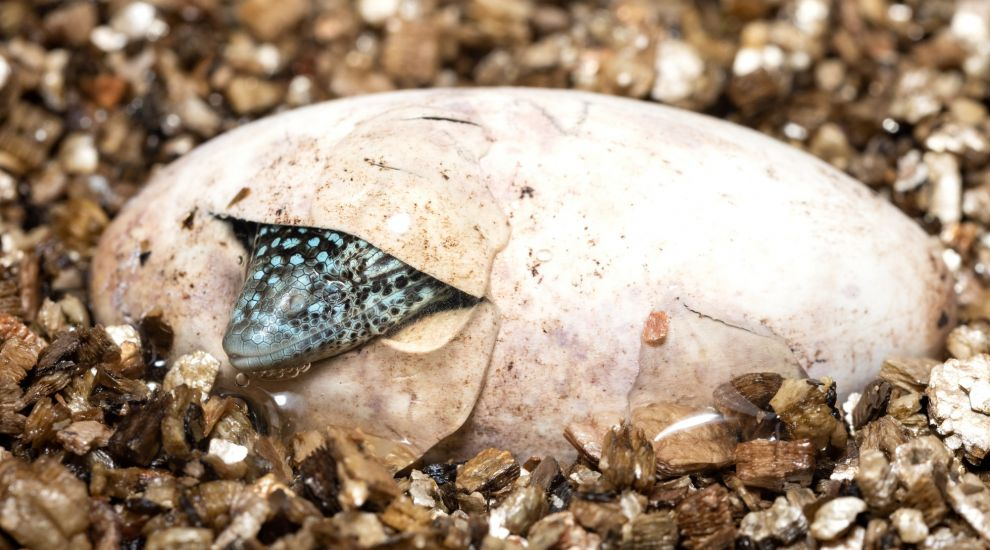 Endangered lizards bred for first time at UK zoo