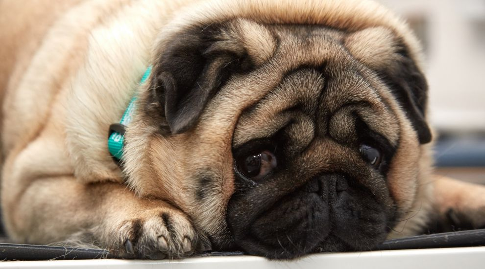 Podgy Percy the pug picked out for pet slimming competition