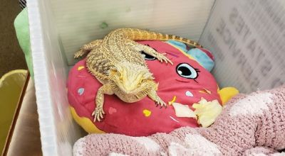 Bearded dragon found in student's backpack at school