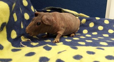 Hairless 'skinny pigs' looking for new homes