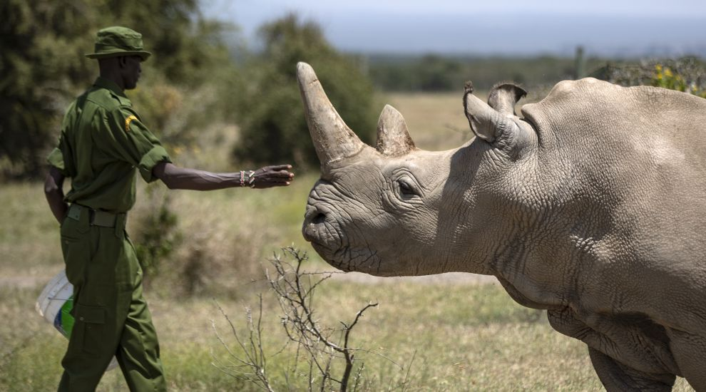 Eggs extracted from last northern white rhino females in bid to save the species